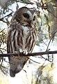 Northern Saw-whet Owl (31089620114).jpg