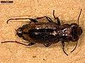 Notiophilus biguttatus (41417976991).jpg