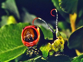 Deimatic behaviour - A puss moth (Cerura vinula) caterpillar displaying its two flagella on its tail and red patches on its head. If the threat doesn't retreat, the caterpillar can fire formic acid from its flagella.