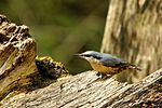 Nuthatch - Lackford Lakes (26732740195).jpg