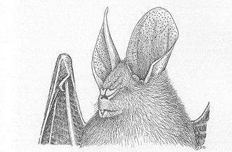 Ja slit-faced bat - Image: Nycteris major