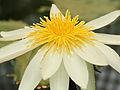 Nymphaea ampla-IMG 4578.jpg