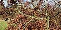 Oak dead branches at Bush End in Hatfield Broad Oak, Essex, England.jpg