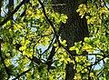 Oak leaves - geograph.org.uk - 798438.jpg