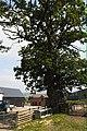 Oak tree at Pant farm - geograph.org.uk - 481439.jpg