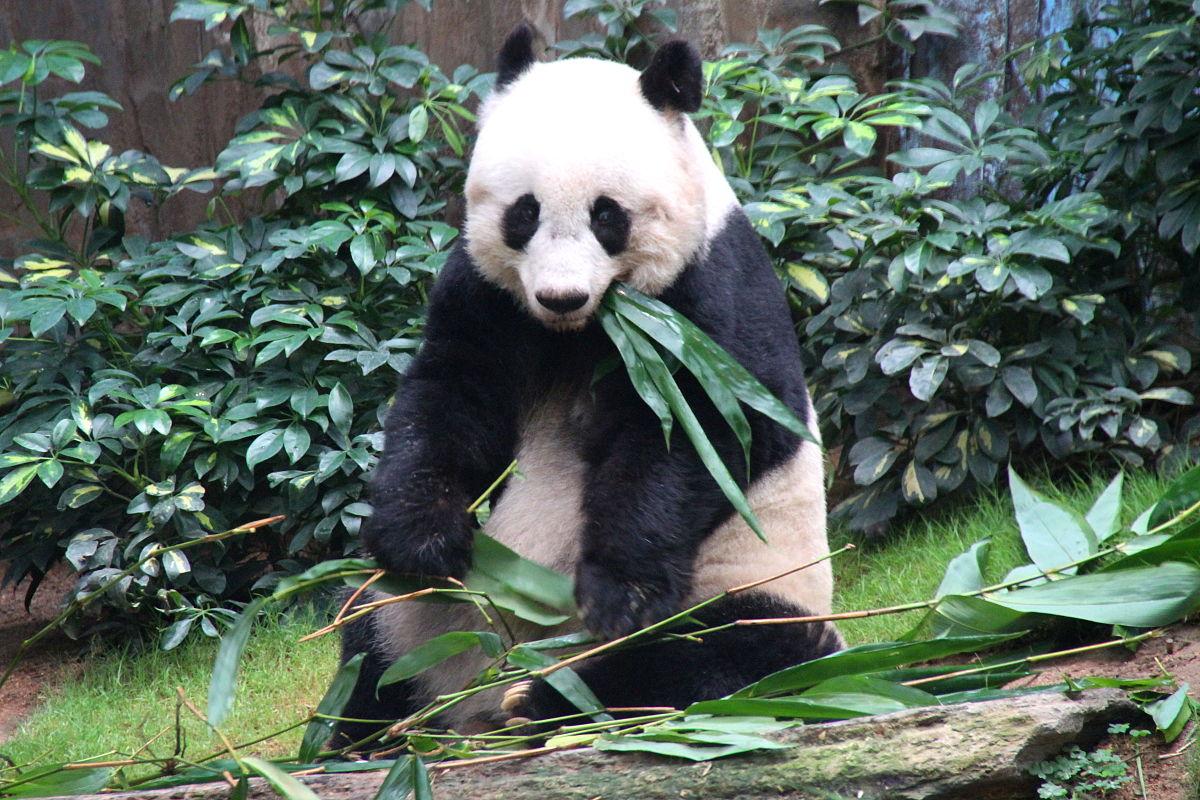 Jia Jia (giant Panda)