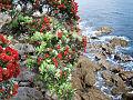 Ocean side Pohutukawa (6004156259).jpg