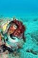 Octopus-in-amadores-gran-canaria.jpg