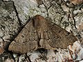 Odontopera bidentata - Scalloped hazel - Пяденица зубцекрылая (41375921905).jpg
