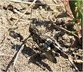 Oedipoda caerulescens m 080725-52.jpg