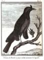 Oiseau de Paradis à gorge violette Sonnerat.PNG