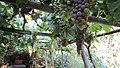 Old Vineyard Visit - panoramio (1).jpg