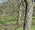 Old cherry orchard - geograph.org.uk - 122892.jpg