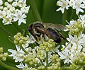 Old worn Andrena sp (35439522941).jpg