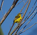 Olive-backed Sunbird female (14308641597).jpg