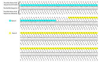 Open reading frame - Example of a six-frame translation. The nucleotide sequence is shown in the middle with forward translations above and reverse translations below. Two possible open reading frames with the sequences are highlighted.