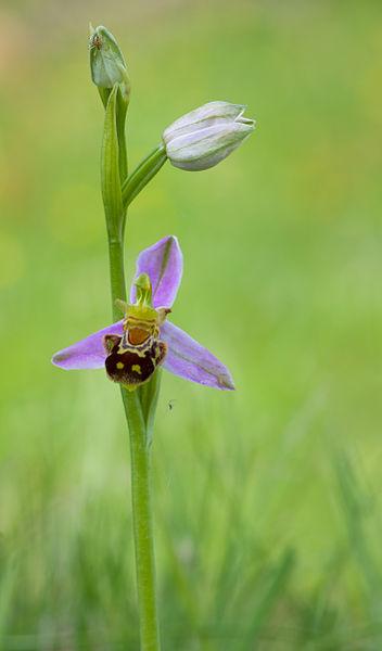 File:Ophrys apifera Bienen-Ragwurz 2014.jpg