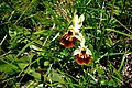 Ophrys holoserica (5716986992).jpg