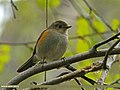 Orange-flanked Bush Robin (Tarsiger cyanurus) (23397769886).jpg