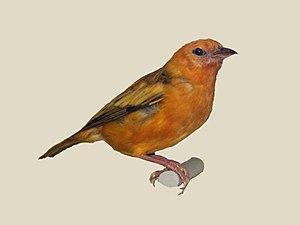 Orange weaver - Specimen of P. aurantius subsp. rex in Nairobi National Museum
