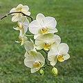 Orchidee (phalaenopsis) (actm) 03.jpg