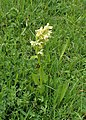 Orchis provincialis kz01.jpg