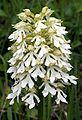 Orchis purpurea var. alba Saarland 01.jpg