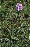 Orchis tridentata 02 mg-k.jpg