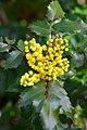 Oregon grape (Mahonia aquifolium) in flower along Green River Trail 02.jpg