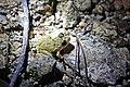Oriente Stream Frog (Eleutherodactylus cuneatus) (8572427166).jpg