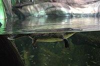 Ornithorhynchus anatinus - in water.jpg