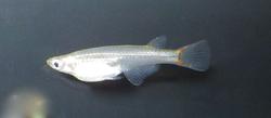 Oryzias mekongensis female.png
