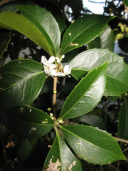 Osmanthus × fortunei 6
