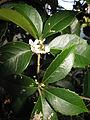 Osmanthus × fortunei 6.JPG