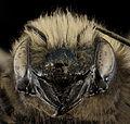 Osmia lignaria, F, Face, Washington, DC 2013-11-13-09.44.56 ZS PMax (12330260505).jpg
