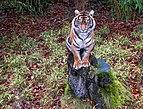 Osnabrück - Zoo - Panthera Tigris Sumatrae 01.jpg