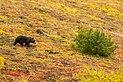 Oso gris (Ursus arctos horribilis), Parque nacional y reserva Denali, Alaska, Estados Unidos, 2017-08-30, DD 77.jpg