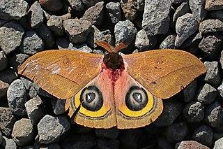 <i>Automeris belti</i> species of insect