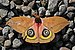 Owl moth (Automeris belti belti).jpg