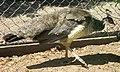 Påfågelhona i Mössebergs djurpark 2625.jpg