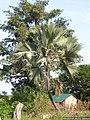 P1080399- Borassus akeassii (mâle).jpg