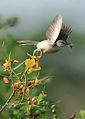 PLAIN PRINIA WITH FEED.jpg