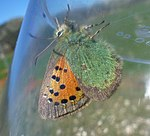 PROVENCAL Hairstreak N. (7163695327).jpg
