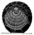 PSM V06 D674 Nephila plumipes net photographed.jpg