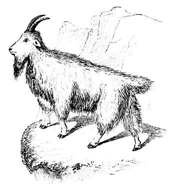 PSM V10 D706 The mountain goat.jpg