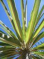 Pachypodium geayi.jpg