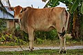 Padang-Mat-Sirat Langkawi A-local-cow-01.jpg