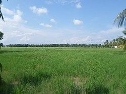 Paddy Field in Melaka.jpg