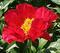 Paeonia lactiflora Blaze.jpg