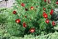 Paeonia tenuifolia prg1.jpg